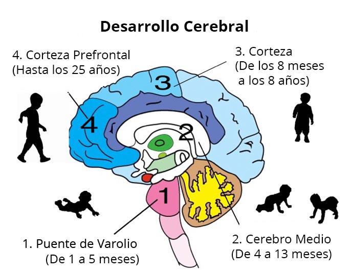 Desarrollo cerebral en los niños